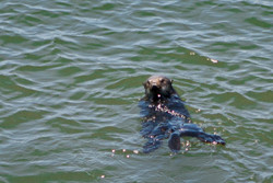 See the Sea Otters frolick in the waters of Elkhorn Slough