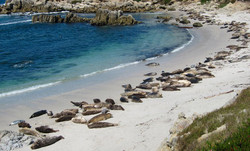 Year Round you can say Hello to the Harbor Seals near Hopkins Marine Station in Pacific Grove. Always a Magnificent View. Just 15 minutes from Carmel.